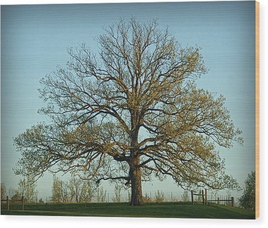 The Mighty Oak In Spring Wood Print