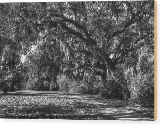 The Mighty Oaks 1 Bw Wood Print