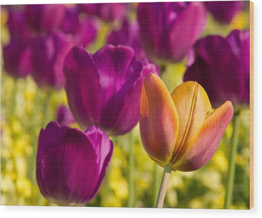The Odd Yellow Tulip Wood Print