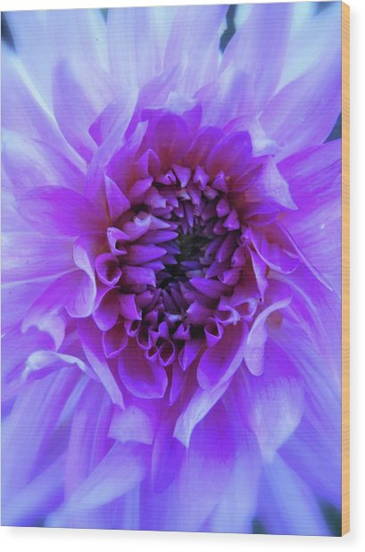 The Passionate Dahlia Wood Print