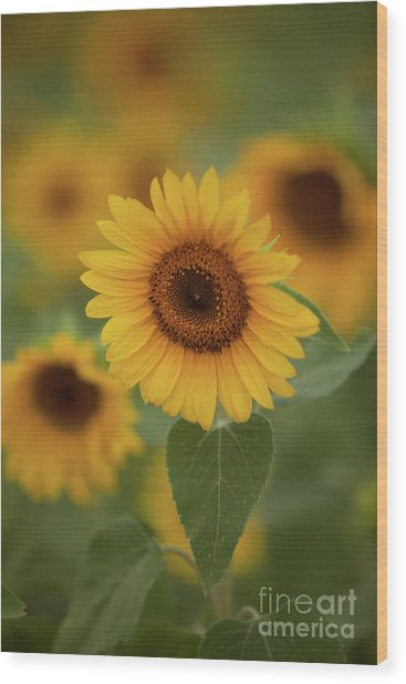 The Patch Of Sunflowers Wood Print