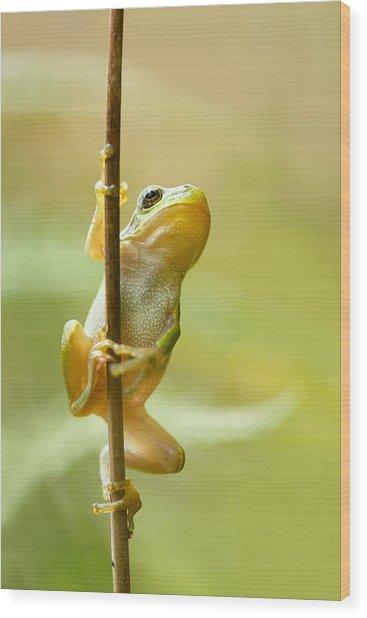 The Pole Dancer - Climbing Tree Frog  Wood Print