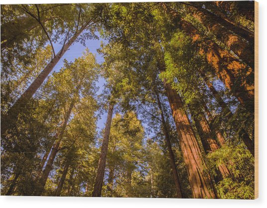 The Portola Redwood Forest Wood Print