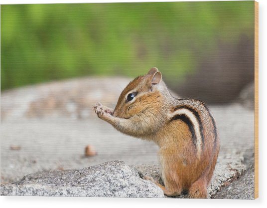 The Praying Chipmunk Wood Print