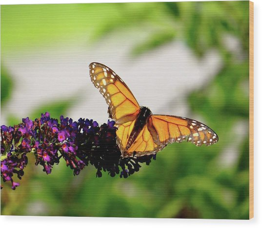 The Resting Monarch Wood Print
