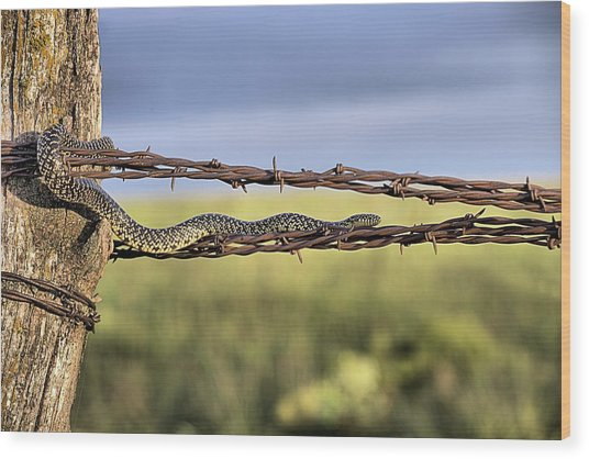 The Speckled Kingsnake  Wood Print by JC Findley