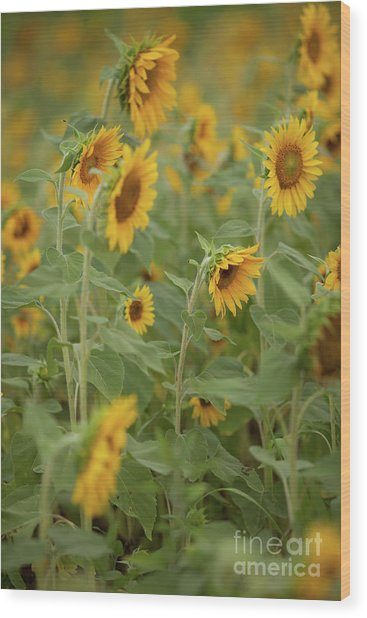 The Sunflower Patch Wood Print