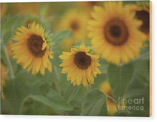 The Sunflowers In The Field Wood Print