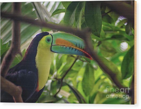 The Toucan Wood Print