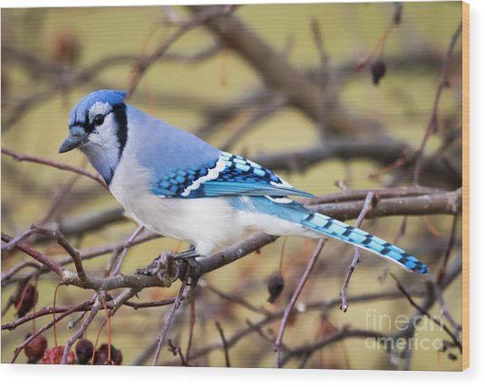 The Winter Blue Jay  Wood Print