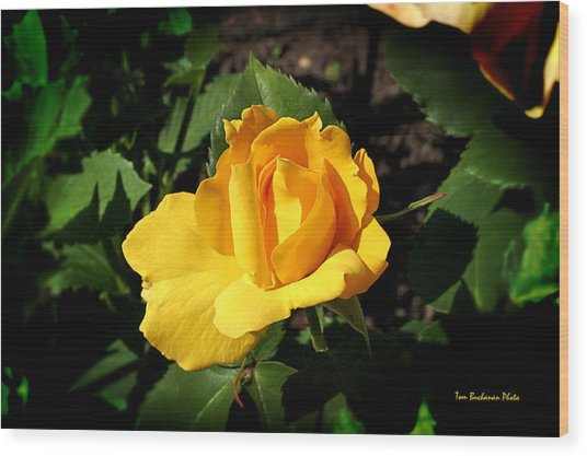The Yellow Rose Of Garden Wood Print