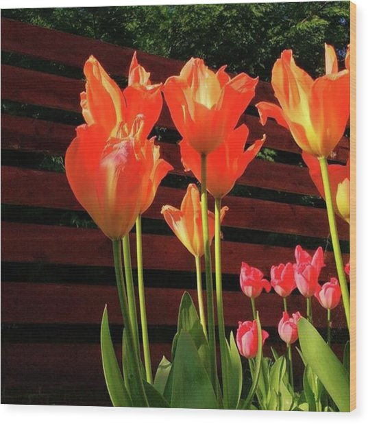 These Are #tulips From My Back Garden Wood Print by Dante Harker