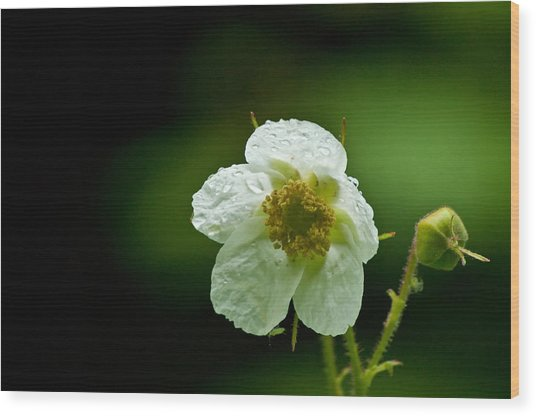 Thimbleberry Flower Wood Print by R J Ruppenthal