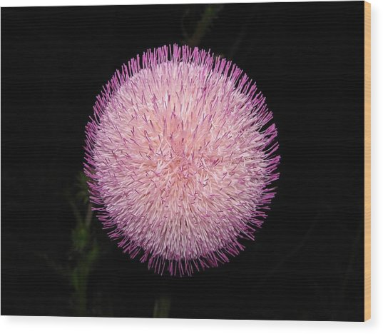Thistle Bloom At Night Wood Print