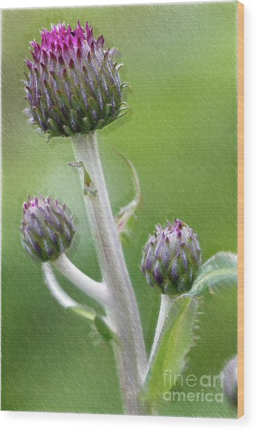 Thistle Stipe  With Buds Wood Print