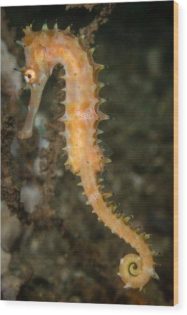 Thorny Seahorse Wood Print