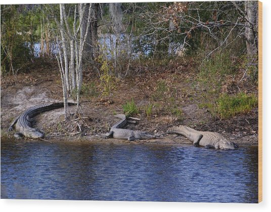 Three Alligators Wood Print