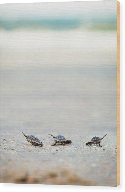 Three Baby Turtles Wood Print