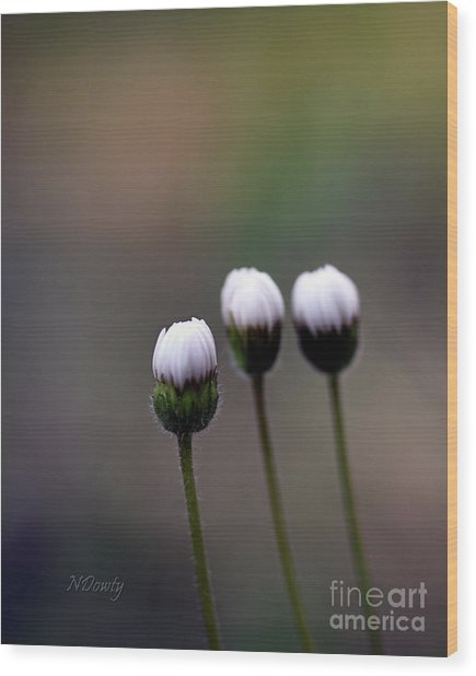 Three Buds Sprawling Daisy Wood Print