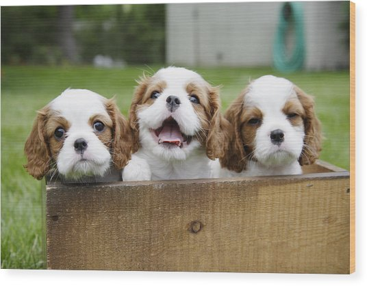 Three Cocker Spaniels Peeking Wood Print