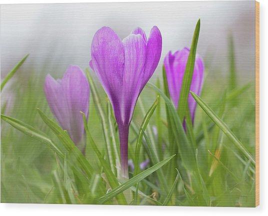 Three Glorious Spring Crocuses Wood Print