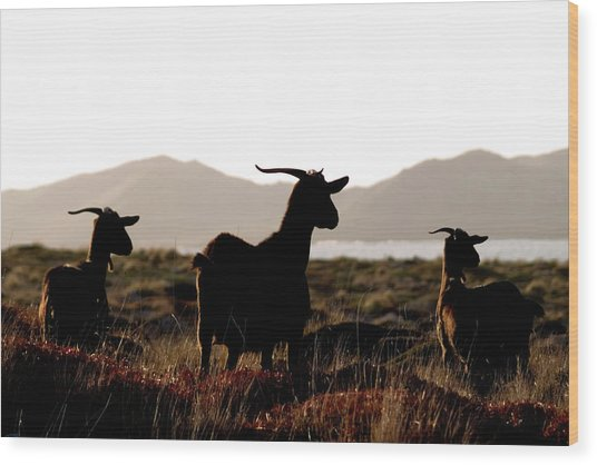 Three Goats Wood Print