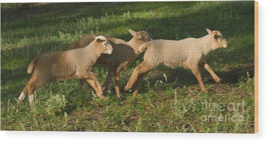 Three Lambs Running 2 by Warren Sarle