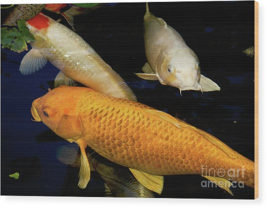 Three Large Koi  Wood Print