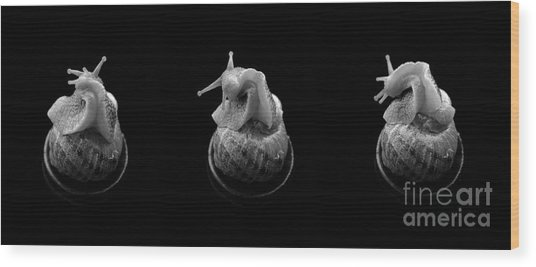 Three Snails Wood Print