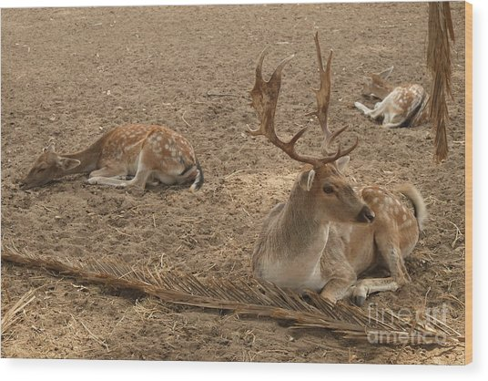 Three Deer Resting Wood Print