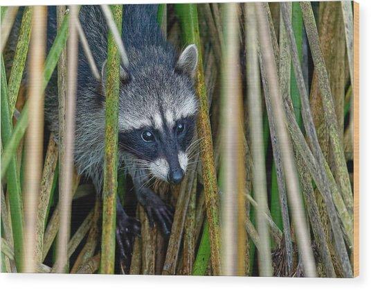 Through The Reeds - Raccoon Wood Print