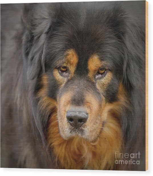 Tibetan Herding Dog Portrait Wood Print