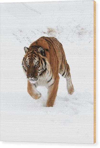 Tiger In Snow Wood Print
