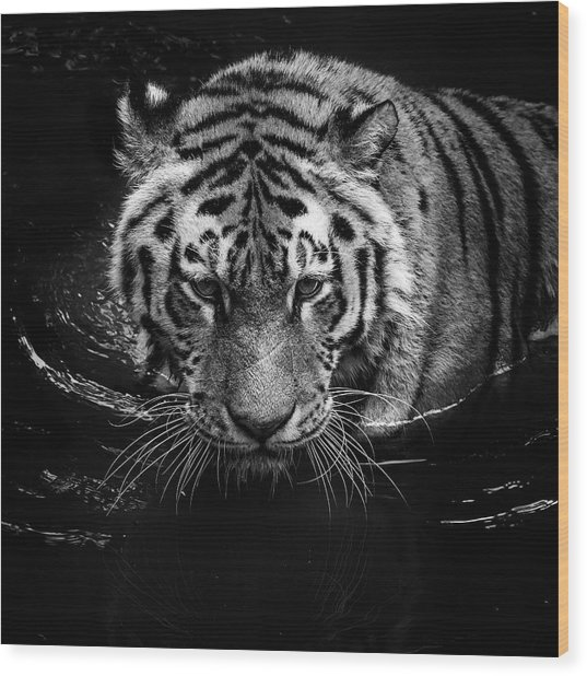 Tiger In Water Wood Print
