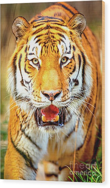 Tiger On The Hunt Wood Print