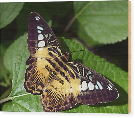 Tiger Print --- Clipper Butterfly Wood Print