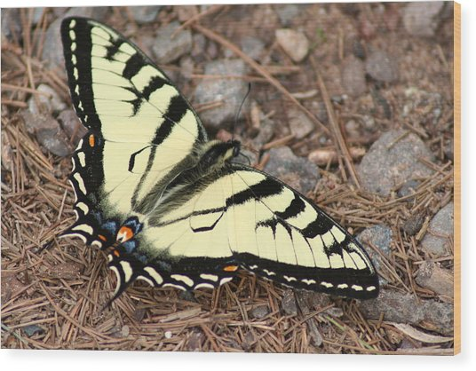 Tiger Swallowtail Wood Print by Jeff VanDyke