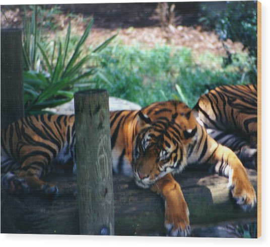 Tigers Sleeping Wood Print by Steve  Heit