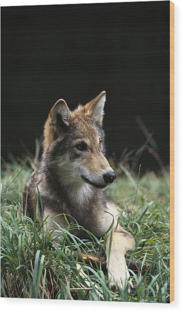 Timber Wolf Canis Lupus Portrait Wood Print