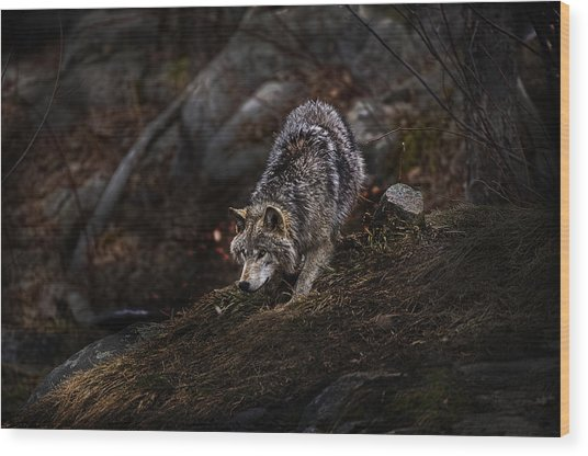 Timber Wolf On Hill Wood Print