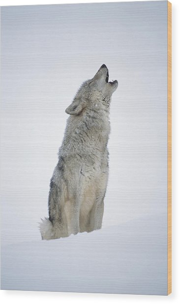 Timber Wolf Portrait Howling In Snow Wood Print