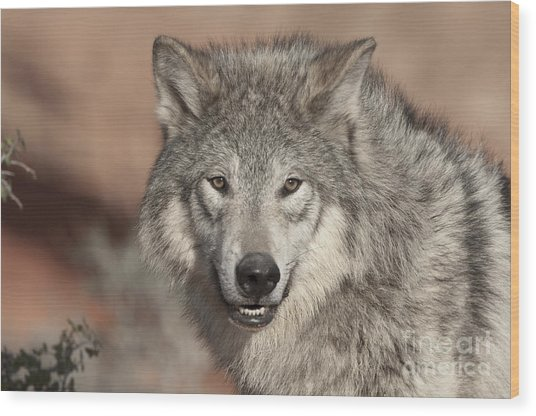 Timber Wolf Portrait Wood Print
