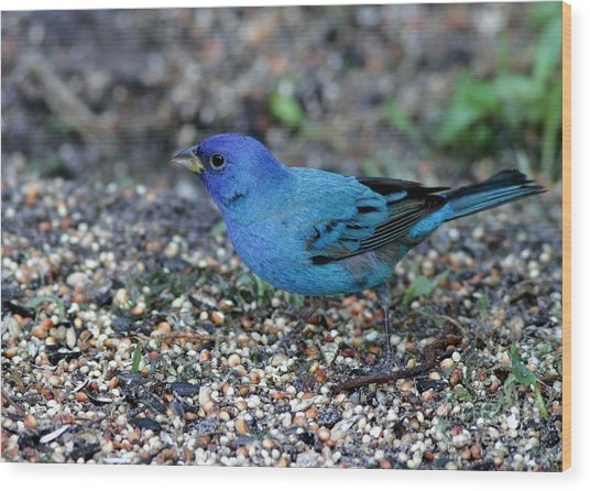 Tiny Indigo Bunting Wood Print