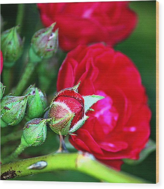 Tiny Red Rosebuds Wood Print