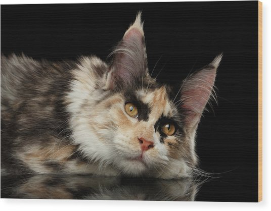 Tired Maine Coon Cat Lie On Black Background Wood Print