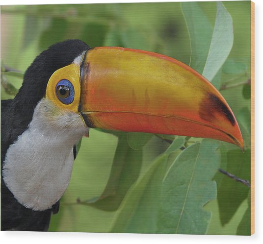Toco Toucan 2 Wood Print