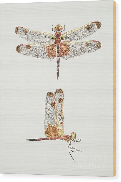 Top And Side Views Of A Male Calico Pennant Dragonfly Wood Print