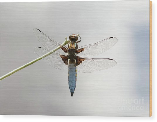 Wood Print featuring the photograph Top Or Dorsal View Of A Single Male Broad-bodied Chaser Dragonfl by Paul Farnfield