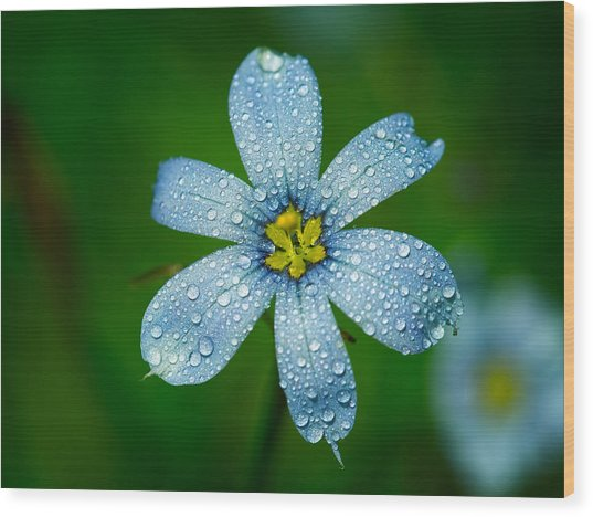 Top View Of A Blue Eyed Grass Flower Wood Print