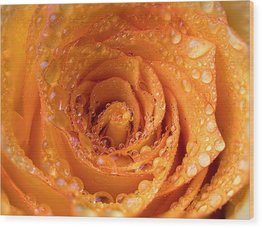 Top View Of An Orange Rose With Droplets Wood Print